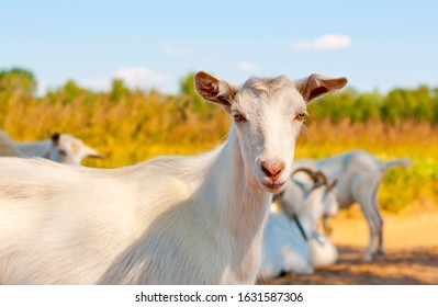 Goats on the country side road on a hot summer day. Goat road block. Goat looking in camera.