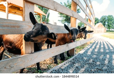 Goats on the farm. Brown goats standing in wooden shelter and looking at the camera. Benefits of Goat Milk.