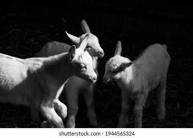 goats on a farm with hay