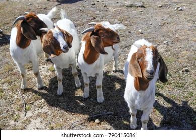 Goats on a farm near Wanaka in New Zealand  begging for a treat, Wanaka, New Zealand, November 2017