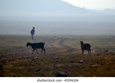 goats on field at dawn