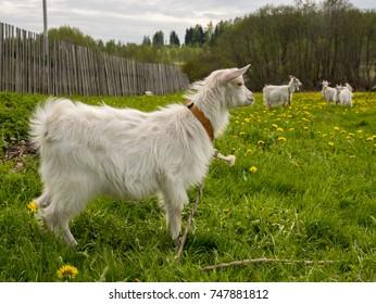 Goats on green field