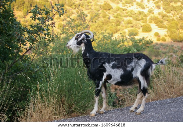 Goats on the hills near road