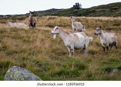 Goats on the meadow. Was seen in Jotunheimen, Norway.