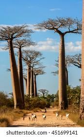 Goats on the sandy path in the Famous Avenida de Baobab near Morondava in Madagascar
