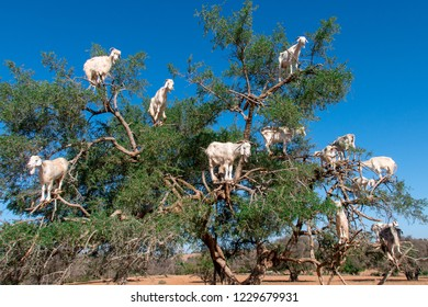 the goats on tree