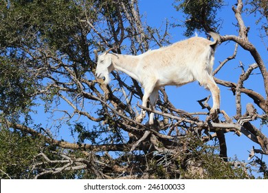 goats on trees essaouira city fortified by the portuguese morocco