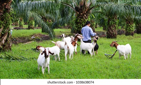 Goats with owner in the oil palm garden  evening