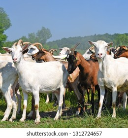 : Goats in the pasture of organic farm