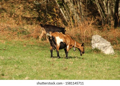 Goats pasturing in the countryside
