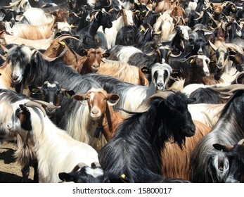 goats in the pen