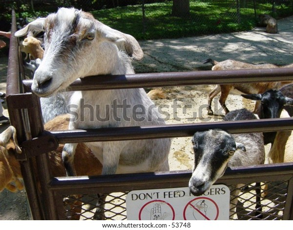 Goats at Petting Zoo