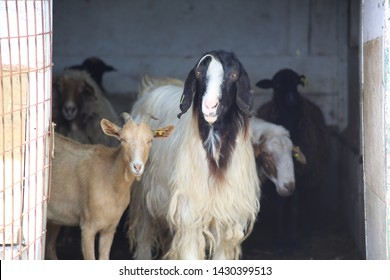 Goats. Photo of goats in the stable. Farm animals