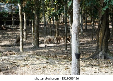 Goats playing at rubber tree forest