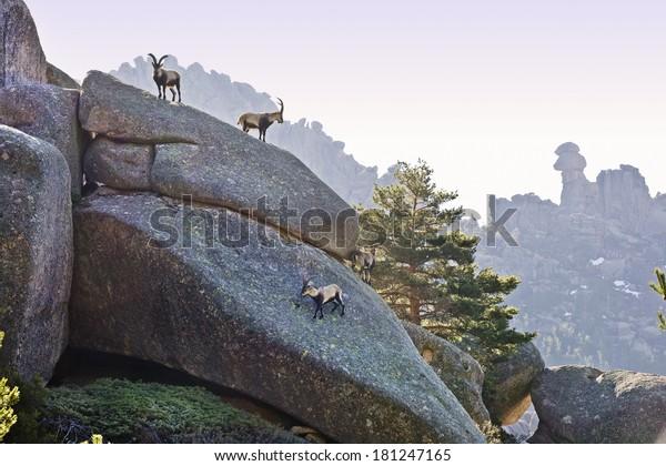 Goats in the Regional Regional of theCuenca Alta del Manzanares. La Pedriza. Manzanares el Real. Madrid. Spain. Europe.