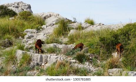 goats at Sa Calobra Torrent de Pareis Serra de Tramuntana Mallorca Spain off-season January