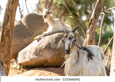 Goats in Sardenia Europe
