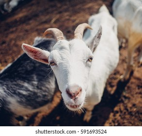 Goats and sheep with big horns in the mountains, haruoutline posing, wildlife