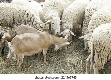 Goats and sheep in farm animals, agriculture and nature