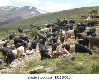 goats and sheep graze on a plateau