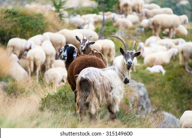 Goats and sheep together, a sheep dark