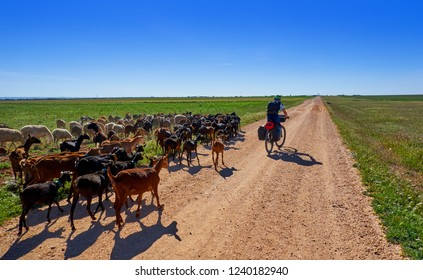 Goats and sheeps flock with pilgrim in Castile La Mancha in Saint james Way of Levante
