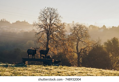 Goats silhouettes isolated on the bench during the misty sunrise on french province