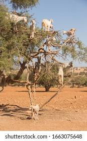 Goats sitting on an argan tree. Morocco.