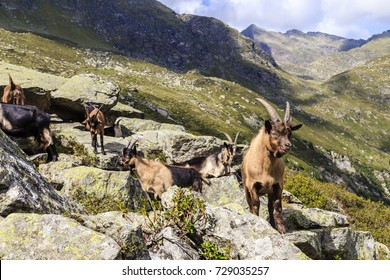 Goats in Spronser Valley in south Tyrol, Italy