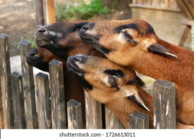 Goats stand in similar poses and look in one direction from behind a wooden fence.