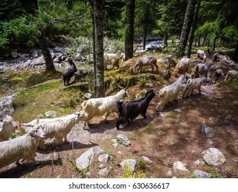 Goats standing on the trekking path. Kasol, Parvati valley, Himachal Pradesh, northern India