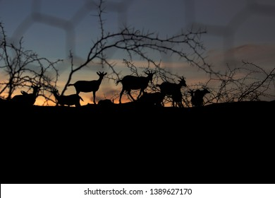 Goats in the sunset near a dry prickles tree