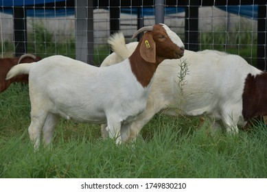 Goats in Thailand The best Genetic From Africa