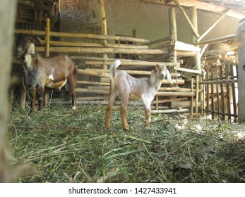 the Goats in their rumble cage