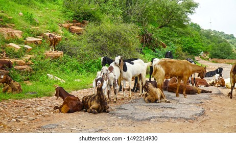 goats walking and sitting at broken road. goats with green grass and trees