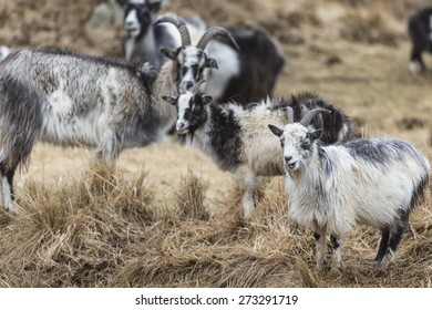 Goats at the Wild Goat Park in Galloway Forest Park.