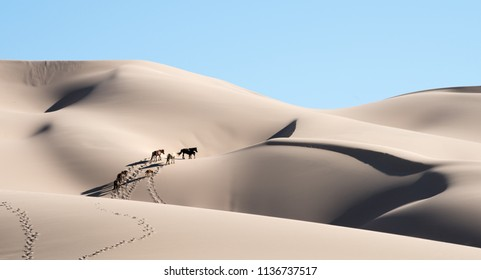 Gobi desert Horses walking in the sand dunes of  Khongoryn Els. Horses crossing the biggest dunes of Mongolia in Hongor Els sand dunes.