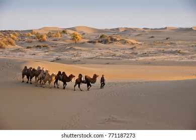 GOBI DESERT, INNER MONGOLIA, CHINA, OCTOBER 14, 2012. A man leads Bactrian camels through sand dunes dotted with poplar trees in autumn color.