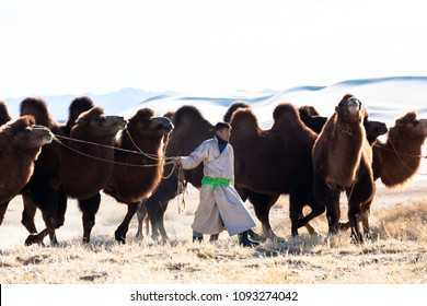 GOBI DESERT, MAY 2018, MONGOLIA : Camel Breeder is coming back after finding his free camel on gobi desert in Mongolia. In background gobi sand desert during autumn.