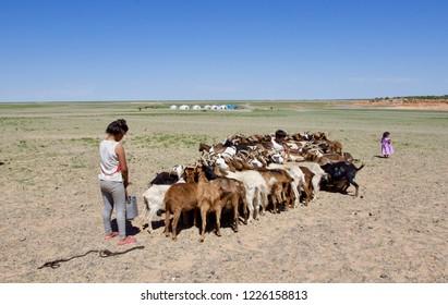 GOBI DESERT, MONGOLIA - AUGUST 2018: a nomadic Mongolian woman with her two children milking goats in the arid flat Gobi desert, Mongolia