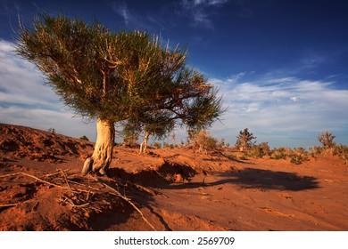 Gobi tree on sunset