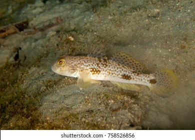 Gobies are fishes of the family Gobiidae