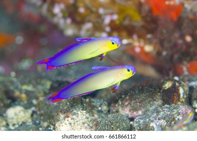 Goby fish