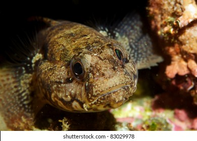 Goby (Gobius paganellus)