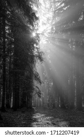 God beams - sun rays n the early morning forest in black and white