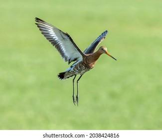 Godwit in Dutch polder flying