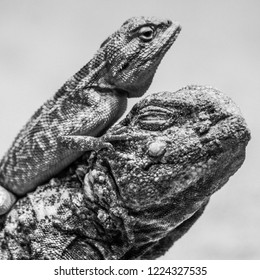 Godzilla like lizards