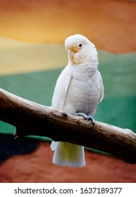 Goffin's cockatoo. They have a white color with a delicate shade of red. In the wild, Goffin cockatoos live on Islands in Indonesia.
