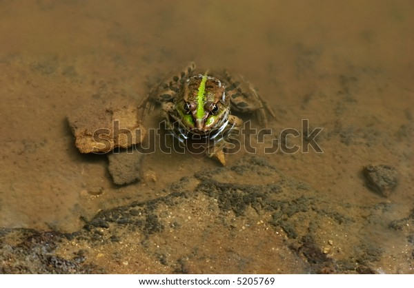 goggle-eyed green frog sitting in spring water