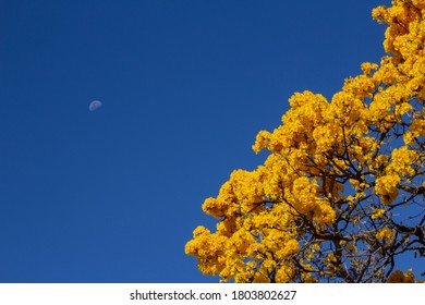 GOIANIA/GOIAS/BRASIL - AUGUST 26 2020: Yellow flowered ipe. Yellow ipe with blue sky and moon in the background. Moon with yellow ipe flowers detail.